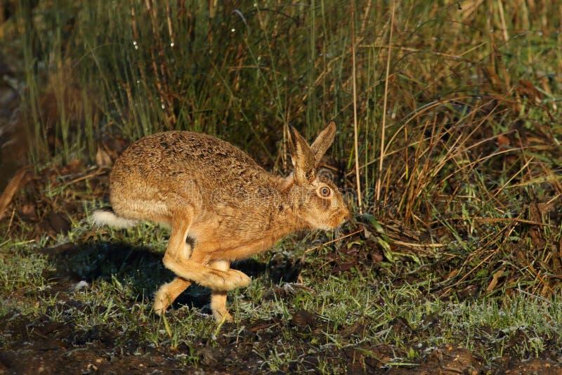 在奔跑的野兔 库存照片