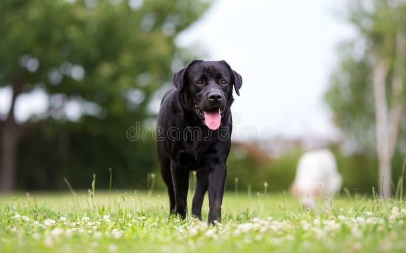 在奔跑的黑拉布拉多猎犬狗 库存照片