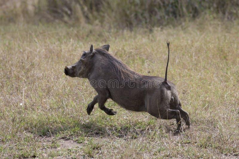 在奔跑的Warthog 免版税库存照片