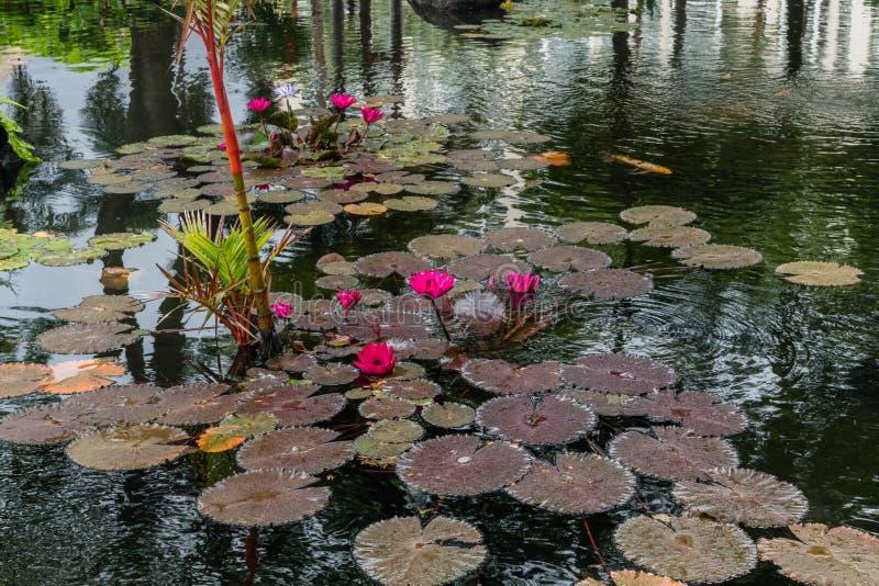 在奥阿胡岛的美丽的粉红waterlily紫色花 免版税库存照片