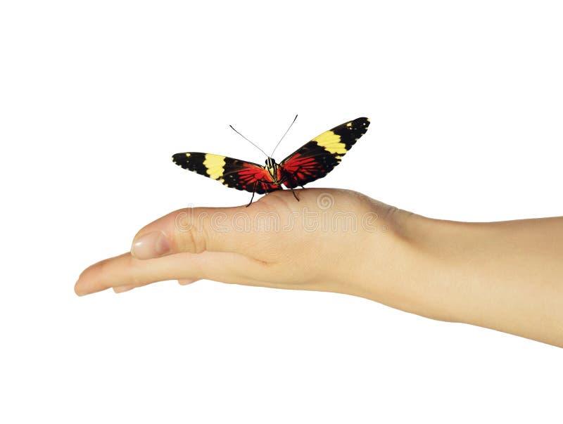 在女孩` s手上的红色薄脆饼干蝴蝶在白色背景被隔绝 免版税库存图片