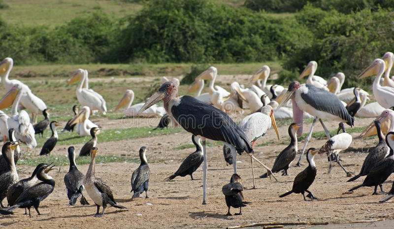 在女王伊丽莎白国家公园的鸟在乌干达 免版税图库摄影