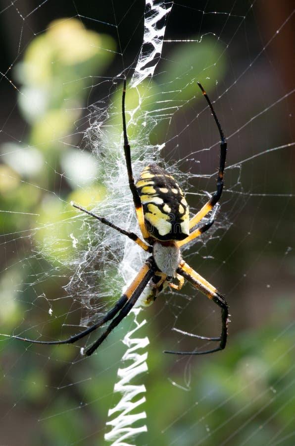 在她的网的黄色花园蜘蛛与牺牲者 免版税库存图片