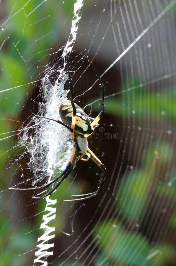 在她的网的黄色花园蜘蛛与牺牲者 库存图片