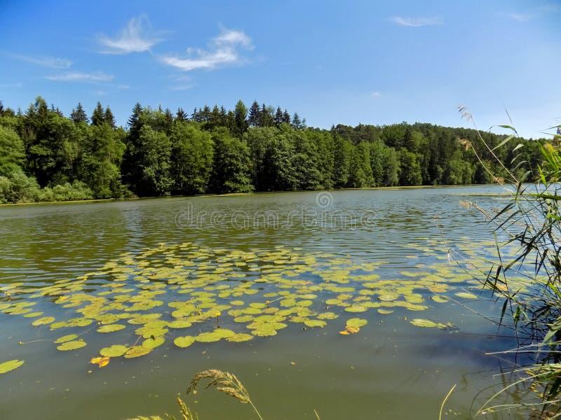 在好晴天期间,美丽的Waterlilies 库存图片