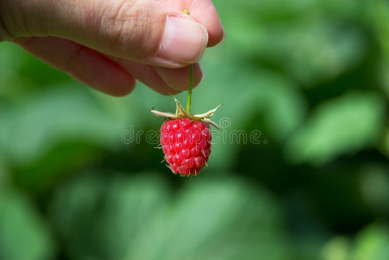 在妇女手上的莓 库存照片