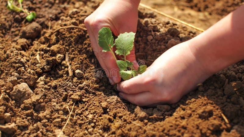 在妇女的细节递种植年幼植物幼木入湿gro 库存照片