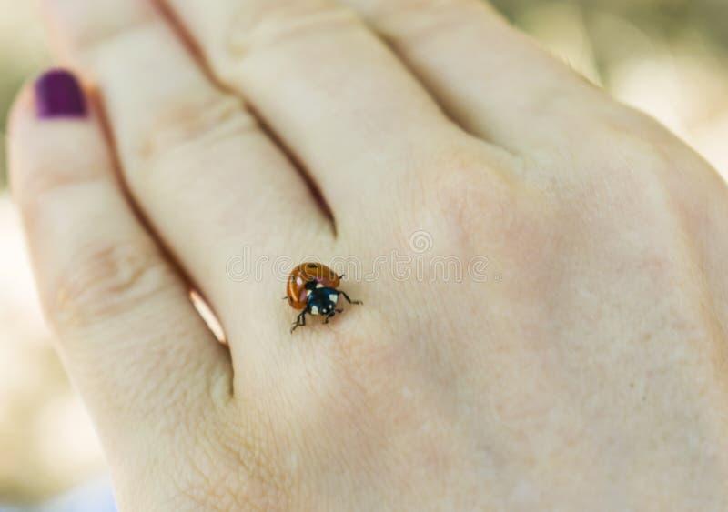 在妇女` s手上的瓢虫 库存图片