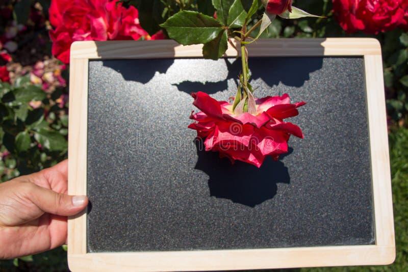 在委员会的开花的美丽的五颜六色的玫瑰 免版税库存照片