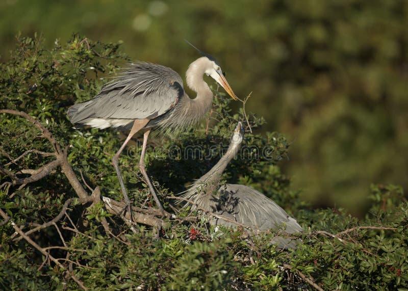 在威尼斯群的伟大蓝色的苍鹭的巢 免版税库存图片