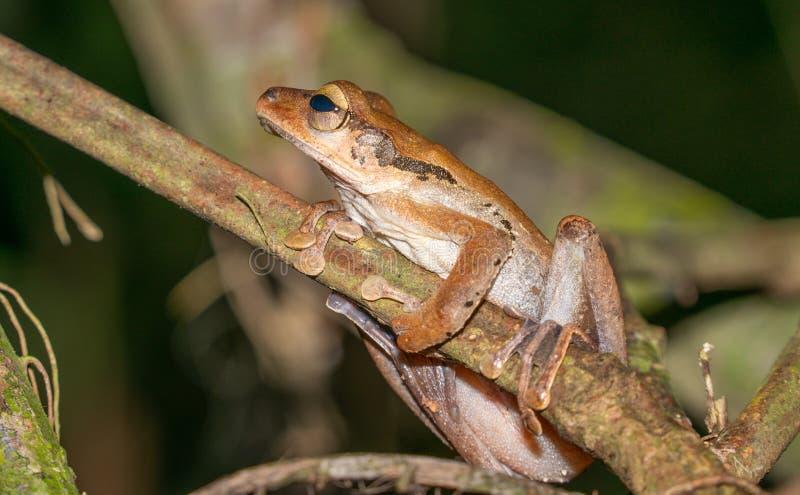 在婆罗洲雨林的文件有耳的雨蛙 库存照片