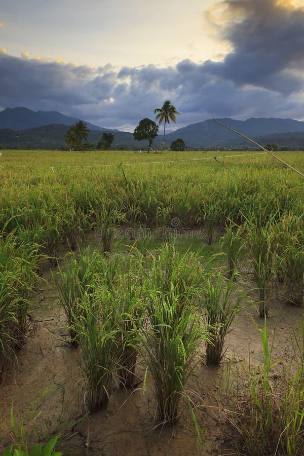 在婆罗洲,沙巴,马来西亚的稻田 免版税库存照片