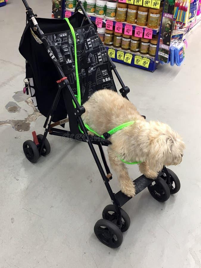 在婴孩摇篮车的卷毛狗 免版税库存照片