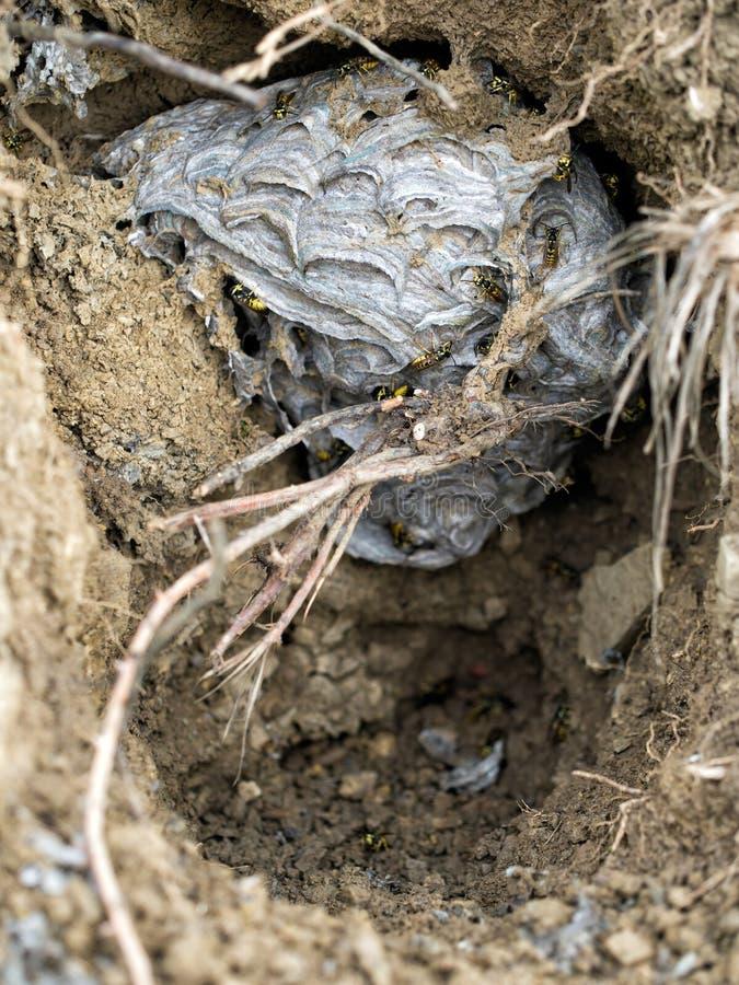 在孔的黄蜂巢在地面 群居黄蜂Germanica 图库摄影
