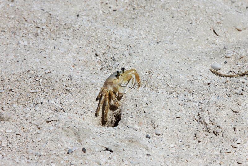 在孔附近的小黄色螃蟹 免版税图库摄影