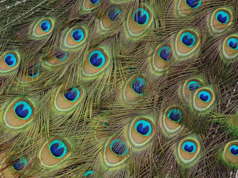 在孔雀尾巴的羽毛的细节 免版税图库摄影