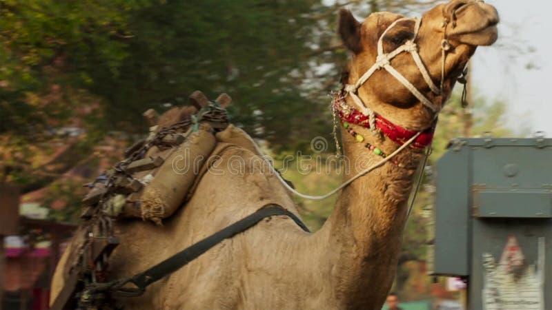 在孟买市中心、一个鲜明对比在都市生活之间和牲口,印度中间的骆驼 免版税库存照片