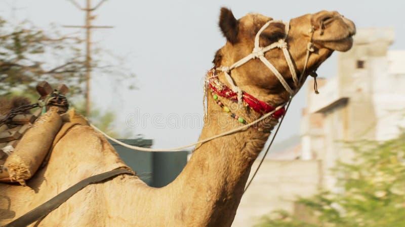 在孟买市中心、一个鲜明对比在都市生活之间和牲口,印度中间的骆驼 免版税库存图片