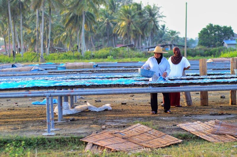 在它变成咸鱼前,工作者是繁忙的干燥烘干鱼的过程的鱼在太阳的热下 库存照片