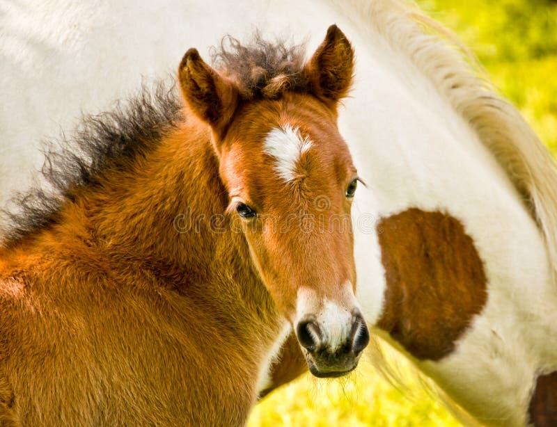 在它旁边的一只棕色驹是母亲 免版税库存图片
