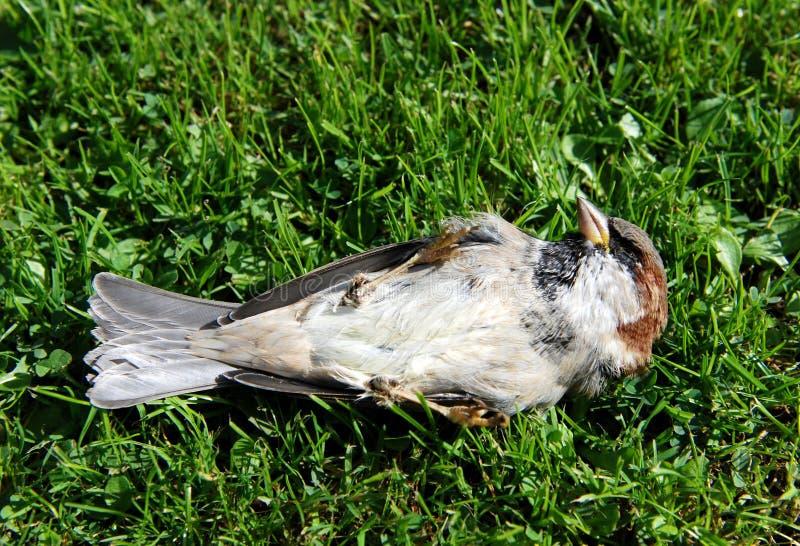 在它的后面的死的树麻雀 免版税库存照片
