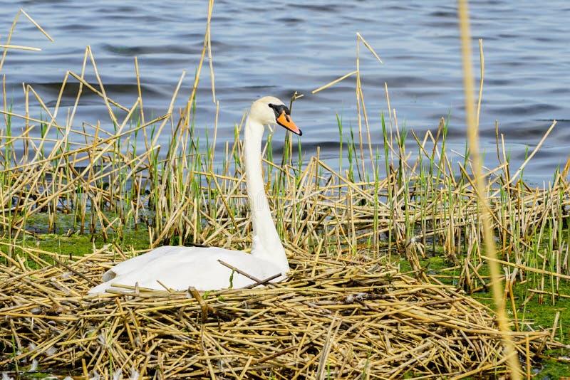 在它的巢的一只天鹅在一个湖在利耶帕亚,拉脱维亚 免版税库存图片