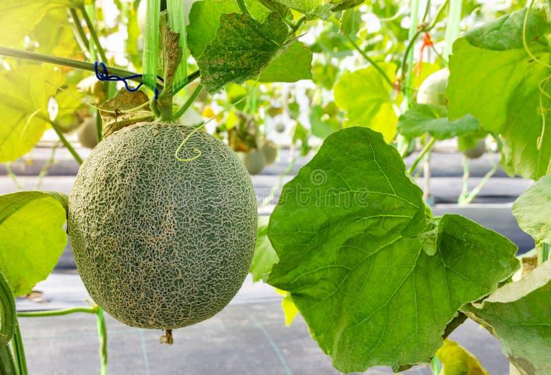 在它的树的新鲜的瓜或甜瓜果子 库存照片