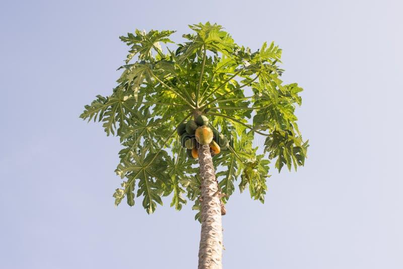 在它的树的番木瓜 库存照片