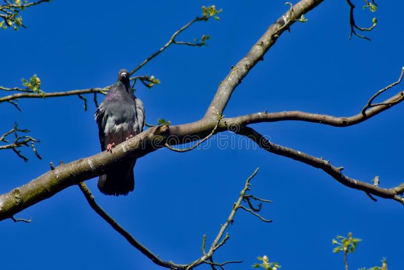 在它的栖息处的岩石鸠鸽子上流 库存照片