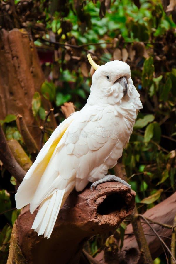 在它的栖息处的硫磺有顶饰美冠鹦鹉 免版税图库摄影