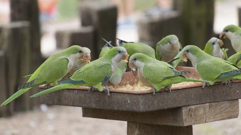 在它的栖息处的长尾小鹦鹉鹦鹉 免版税库存照片