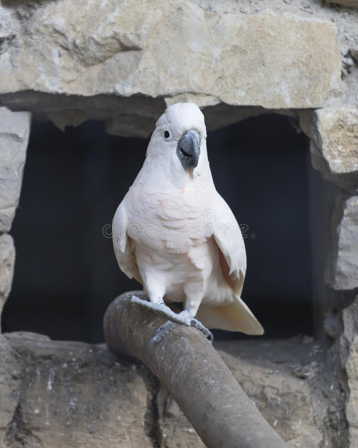 在它的栖息处的Cacatua鹦鹉 免版税库存照片