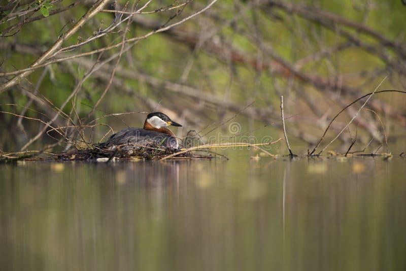 在它的浮动巢的成人red-necked格里布饲养在一个城市池塘在首都柏林德国 免版税库存图片
