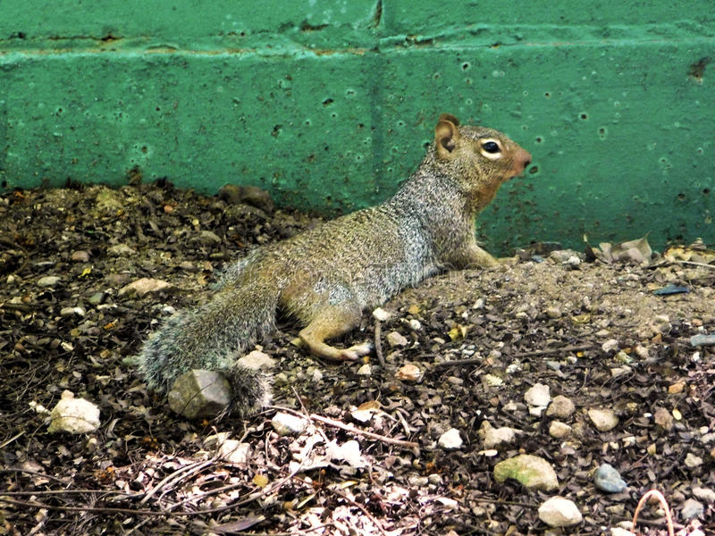 在它的生态系的一只灰鼠 库存照片