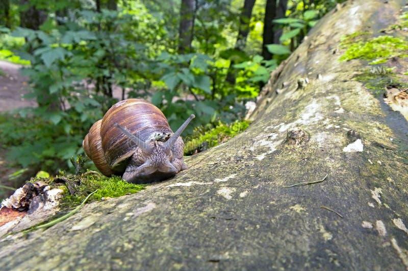 在它的疆土卫兵的蜗牛在公园 库存图片