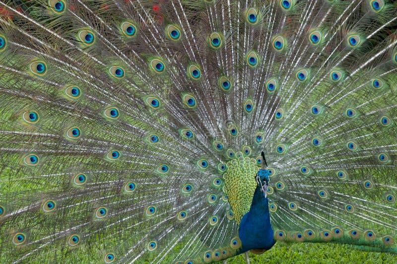 在它的秀丽的孔雀 免版税图库摄影