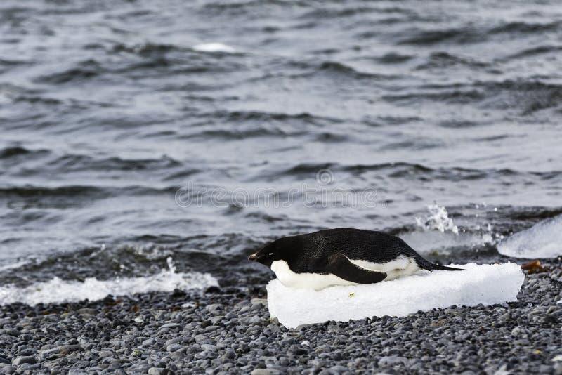 在它的腹部的一只Gentoo企鹅在冰块  库存图片