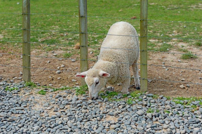 在它的膝盖的羊羔与它的头通过篱芭 库存照片