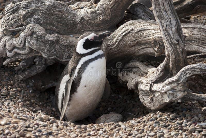 在它的被保护的巢的Magellanic企鹅 免版税库存照片