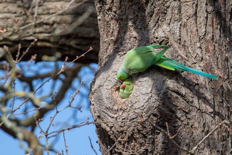在它筑巢孔之外的一个玫瑰圈状的长尾小鹦鹉对 图库摄影