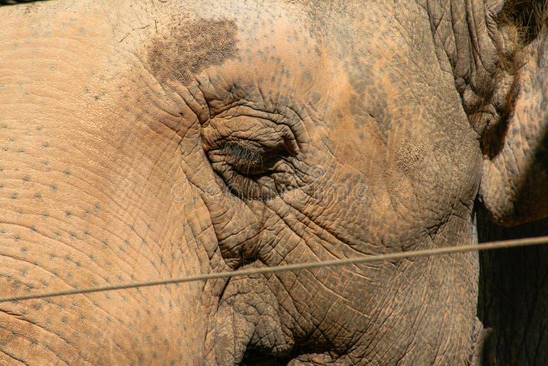 在安全性防护后的亚洲大象,关闭,背景 免版税库存图片