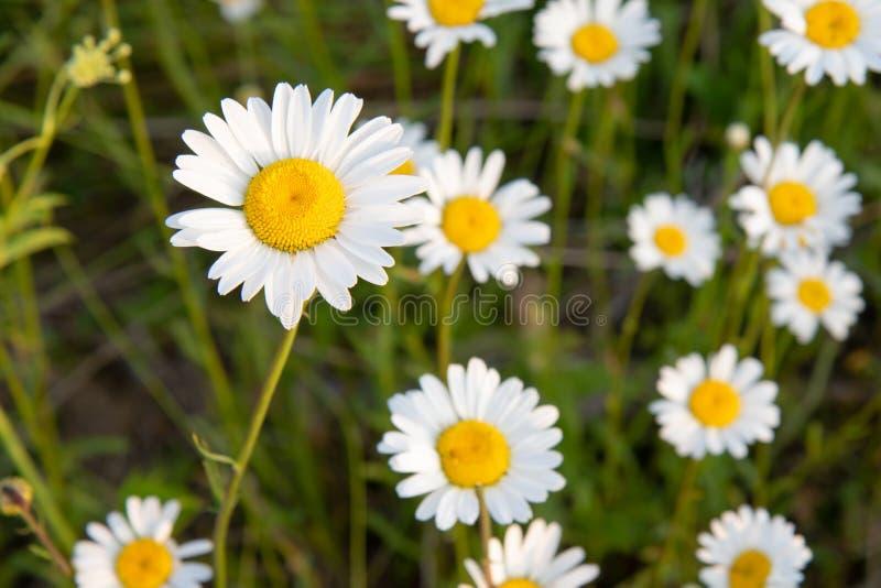 在安大略加拿大的春白菊在夏天 免版税库存照片