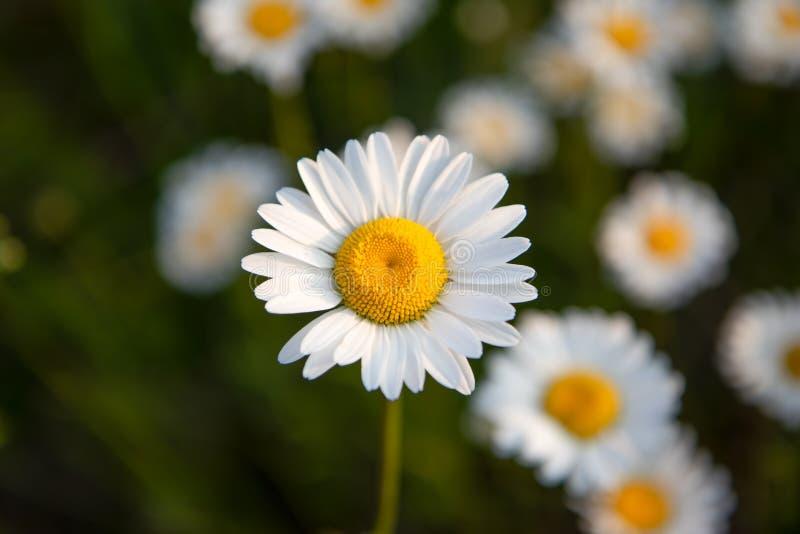 在安大略加拿大的春白菊在夏天 免版税库存图片