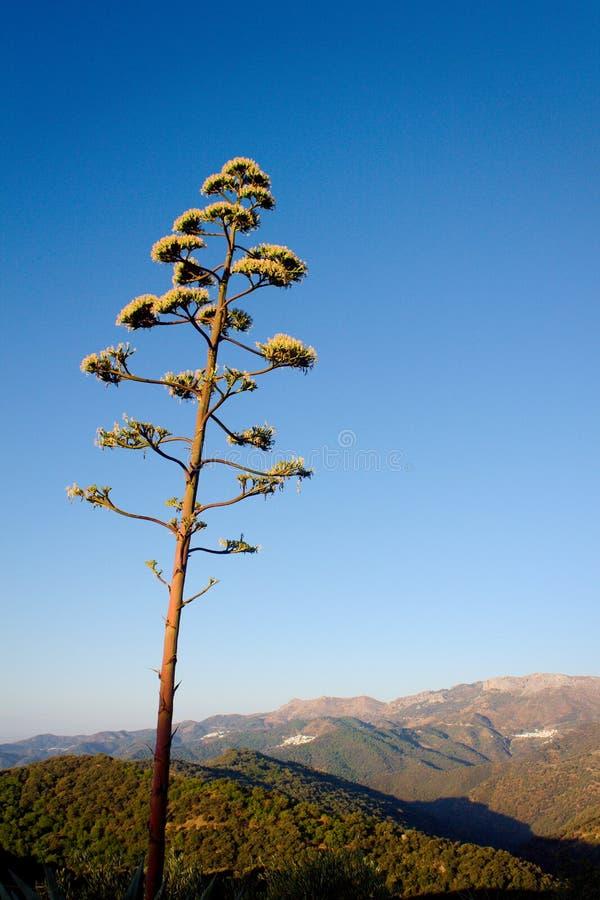 在安达卢西亚的小山的仙人掌花 免版税库存照片