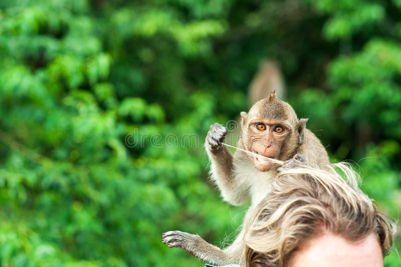 在安达曼海胡闹等待和寻找机会被窃取的食物,泰国海岛  Lipe海岛,猴子 库存图片