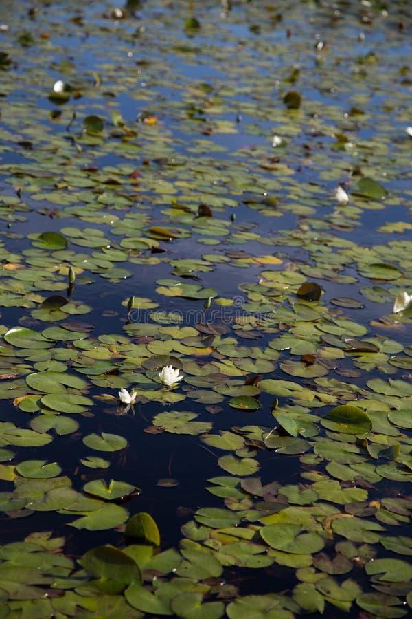 在安静的开花的美国白色waterlilies,有睡莲叶的黑暗的池塘,景深在花的焦点 库存照片