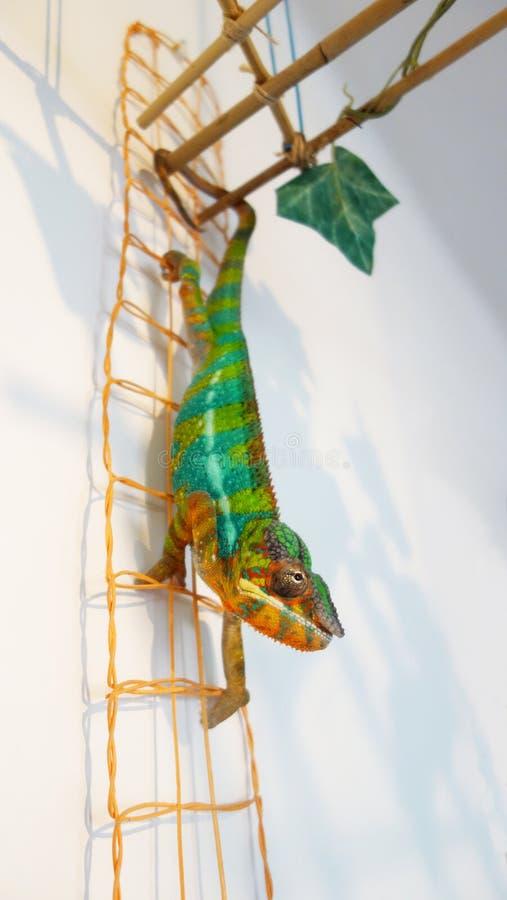 在完整色彩的豹变色蜥蜴安比卢贝 库存图片