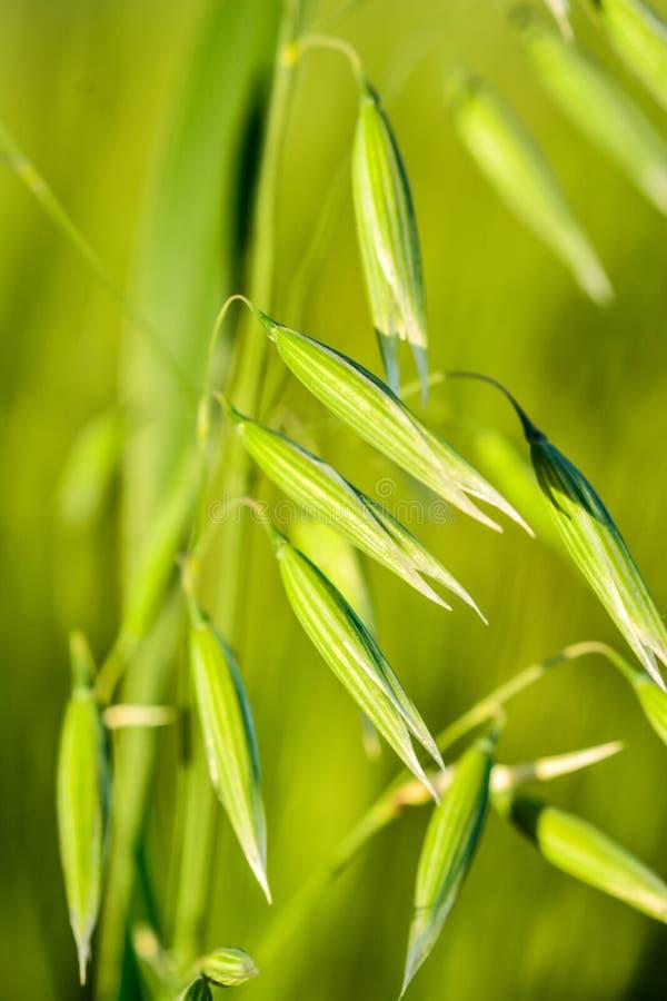 在宏指令的麦子 免版税库存图片