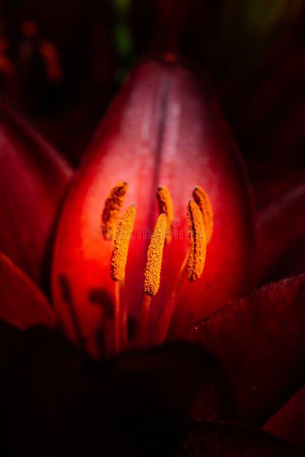在宏观看法的开花的美丽的百合花 免版税库存图片