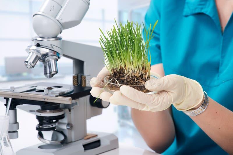在实验室里增长的草 免版税图库摄影